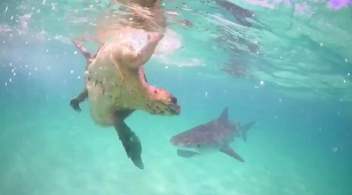 Tiger Shark Attacks Turtle on Vimeo |Tiger Sharks Attack Turtle