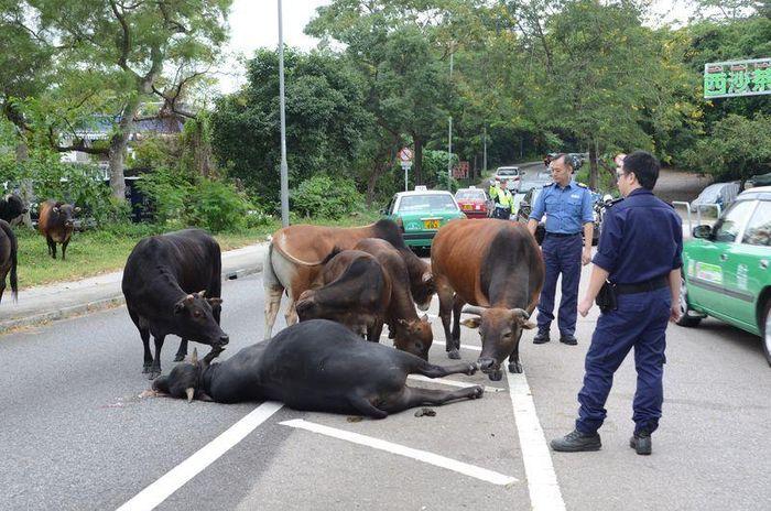 黑牛重傷倒地,同伴圍繞身旁陪伴。