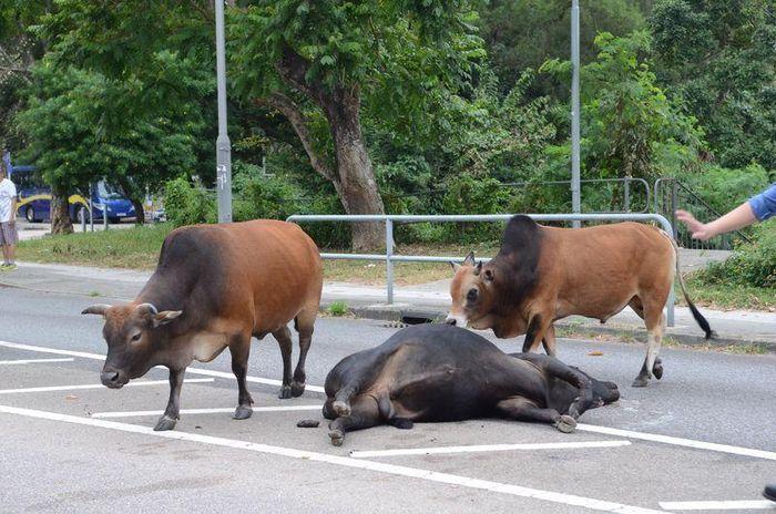 警員到場驅散牛群。
