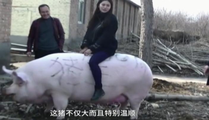 豬王性情溫順。
