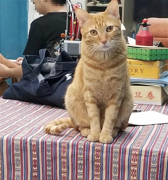 图:小黄医生的肥猫