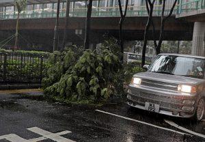 塌树影响市容也危害市民安全