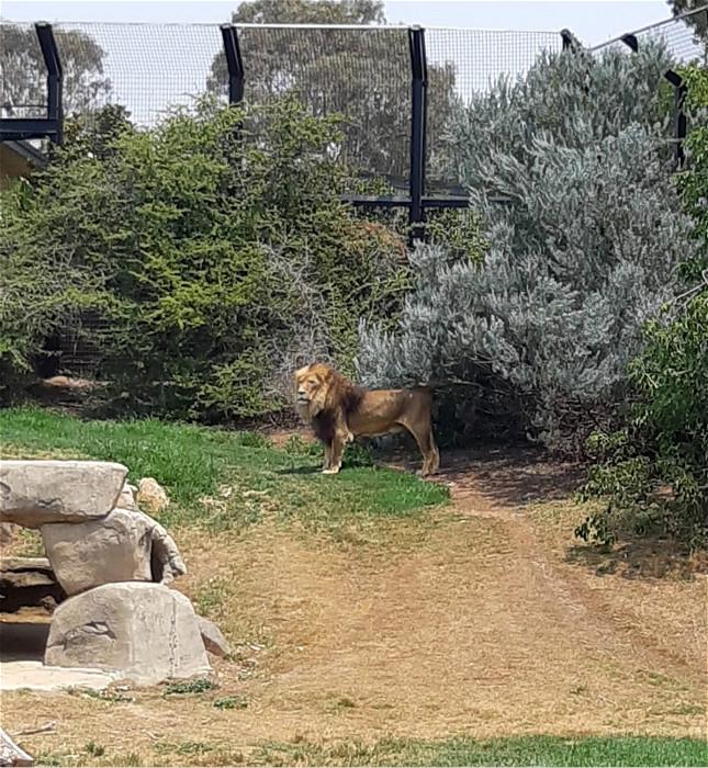 坎培拉動物園的獅子王。