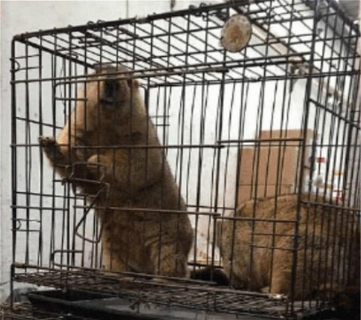 笼中的动物咁生猛,点分佢系狐狸还是果子狸?