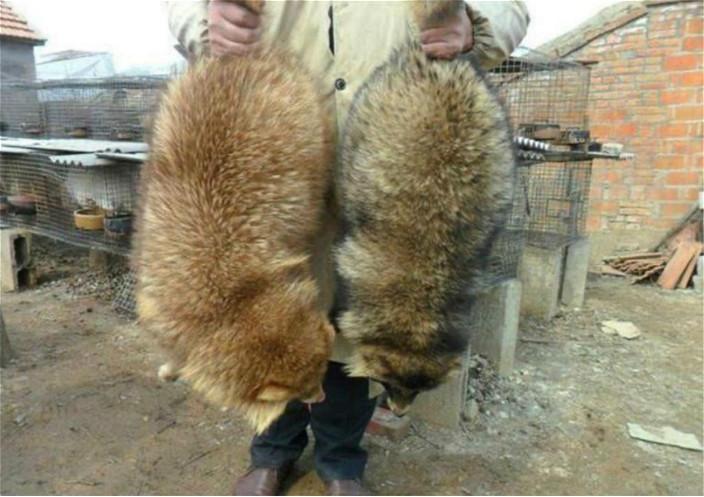 你看图中的狐狸,话系果子狸绝对会信。