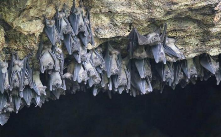 山洞中的蝙蝠大量群居容易傳染病毒。