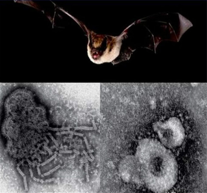 圖: 蝙蝠是播毒之王。
