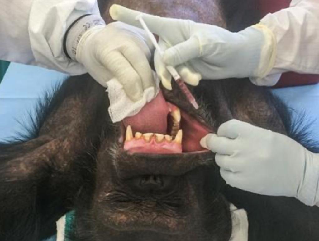 以黑猩猩腺病毒作載體是一種新嘗試。