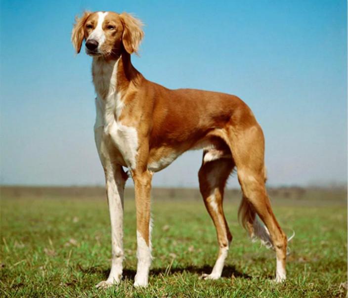 萨路基猎犬唔难养。