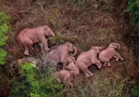 云南象群向北远征500公里,近日睡倒在路边,相当罕见。