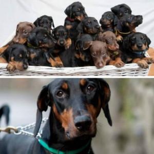都柏文一胎14隻狗仔破英國紀錄
