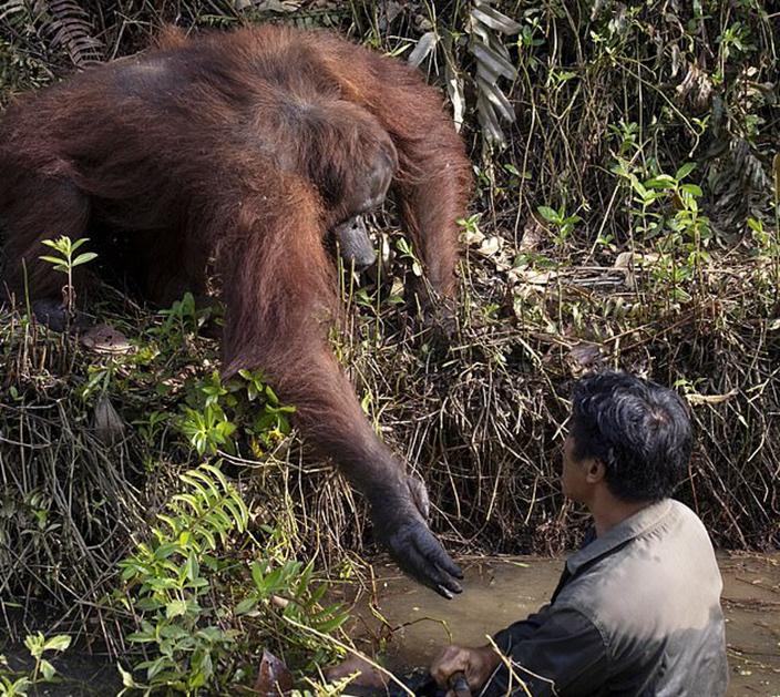 有一種愛是「伸手」 紅毛猩猩欲拯救被困泥濘男子!奇蹟景象感動全網