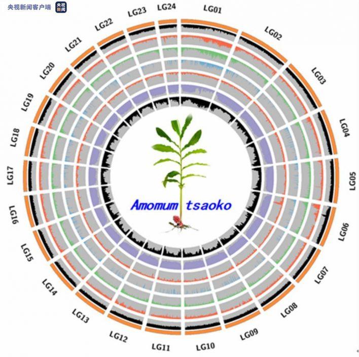 歷時15個月 雲南怒江草果全基因組精細圖譜繪製成功