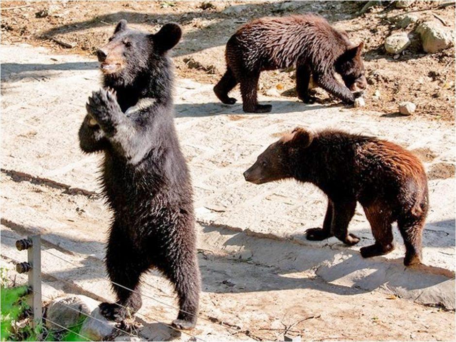网传动物园员工假扮黑熊 园方无奈澄清:都是真熊