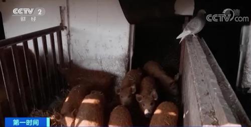 這種是一般豬肉價格4倍的豬,因為豬瘟瀕臨滅絕了?