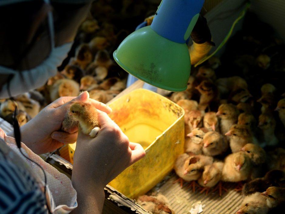 丹麦爆高致病性H5N8禽流感 港暂停进口禽类产品