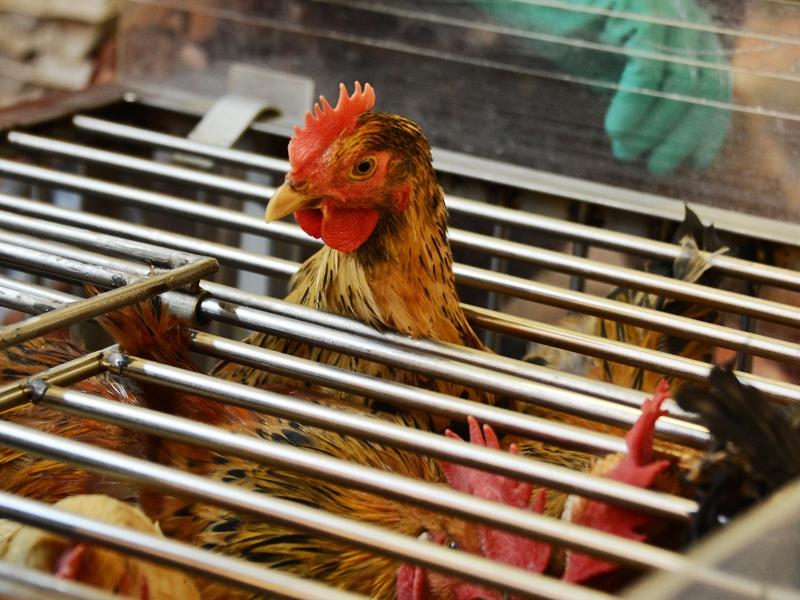 丹麦及波兰爆禽流感 港暂停进口禽产品