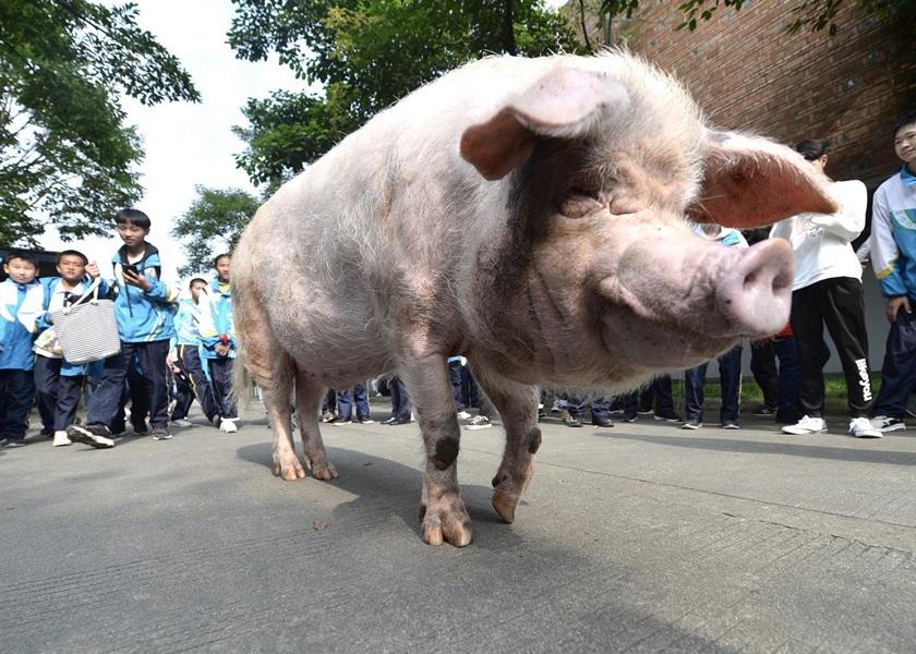 """汶川大地震生还""""猪坚强""""被指无法站立 饲养员:牠已相当人类百岁"""