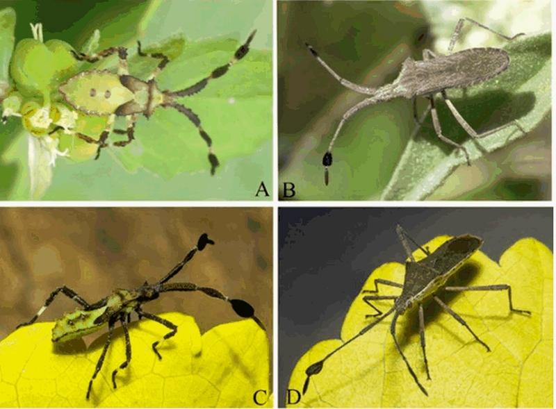 """近亿万年前琥珀 发现新品种昆虫""""大角蝽"""""""