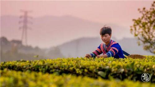 """73.52 亿!云南普洱茶位居""""茶叶品牌价值榜""""第二!"""