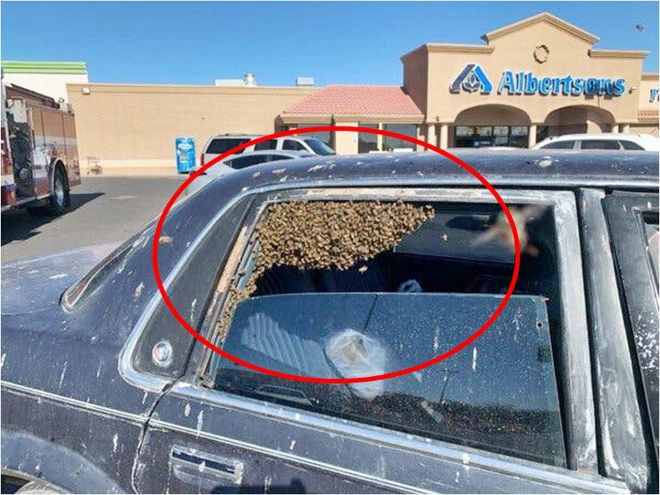 美男购物忘关车窗 逾万只蜜蜂占据后座