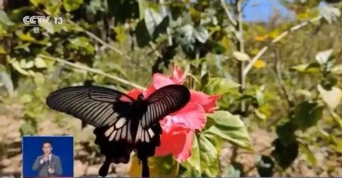 10年來最大!這裏將爆發1.5億隻蝴蝶景觀!