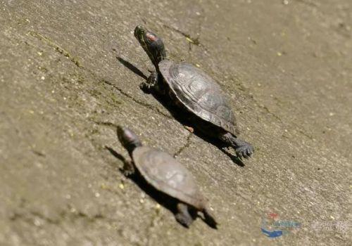 西江流域里,TA们都是国家重点保护野生动物!