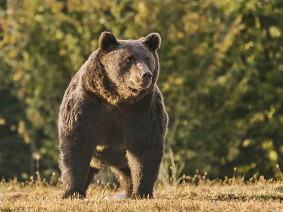 列支敦士登亲王曾射杀野生棕熊 或属欧洲体型最大