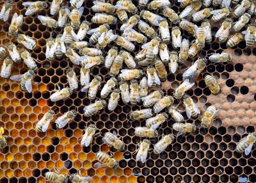 荷兰科学家成功训练蜜蜂 以嗅觉辨别新冠病毒