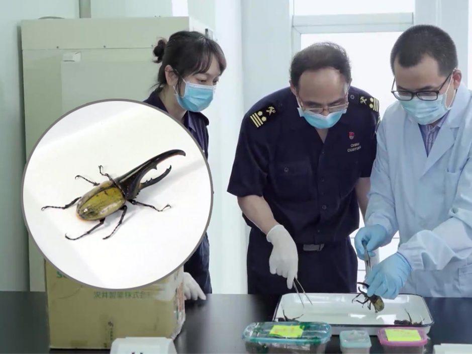 江门海关首次截获3只世界最长甲虫 长14.3厘米能轻松咬断铅笔