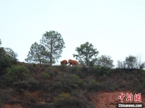 """直击亚洲象群北移:前线指挥部的""""追象""""24小时"""