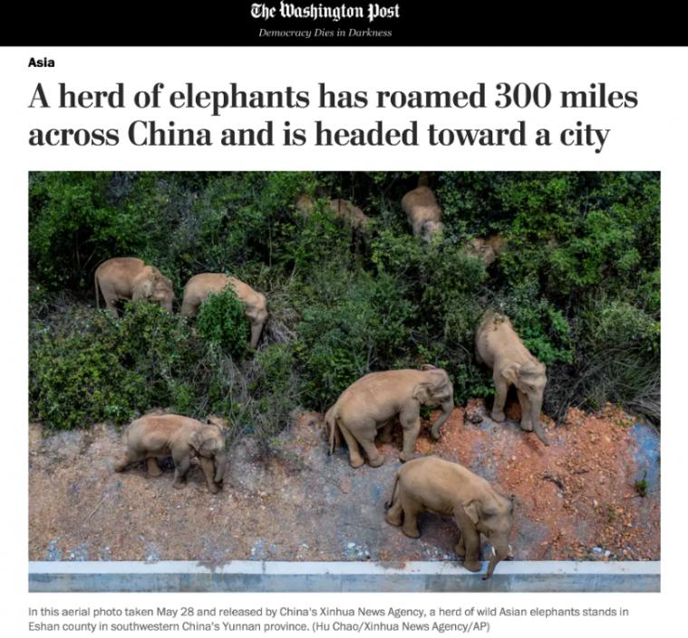 俠客島:北上的雲南大象 在國外圈了粉