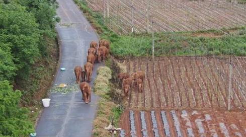 跟著遷徙的亞洲象,世界看到一個可可愛愛的中國