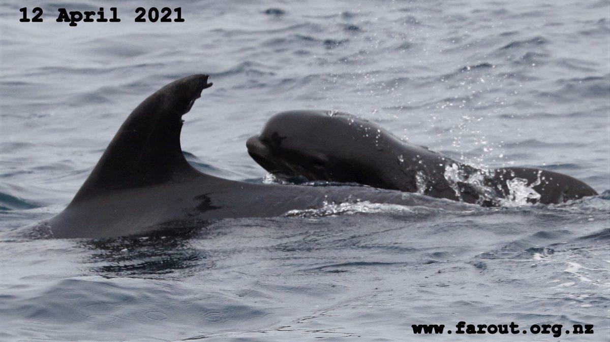 """海豚妈妈疑拐鲸鱼宝宝偷养 与""""巨婴""""海中开心游弋"""