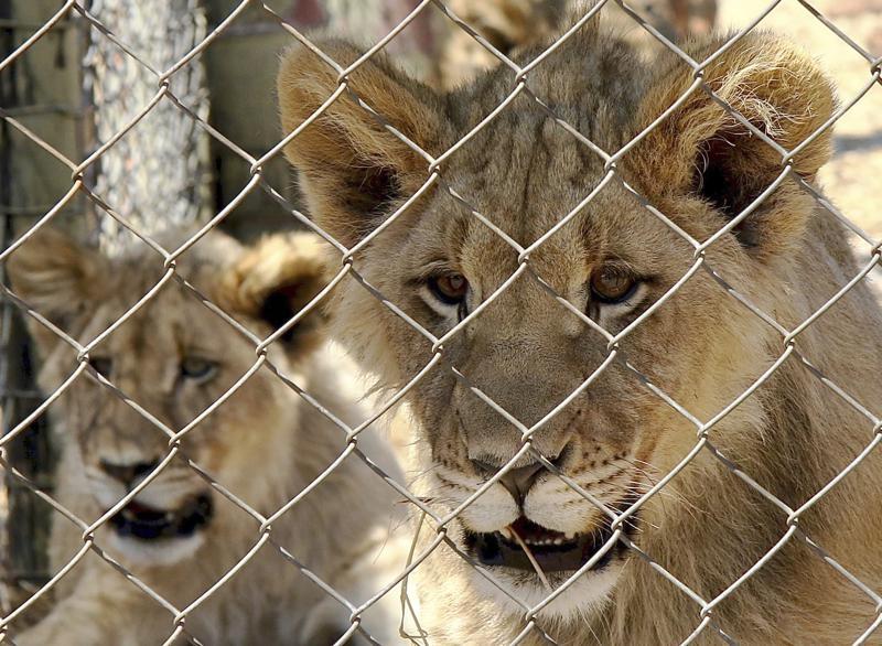 印度动物园爆疫 9岁母狮染疫亡另有8只确诊
