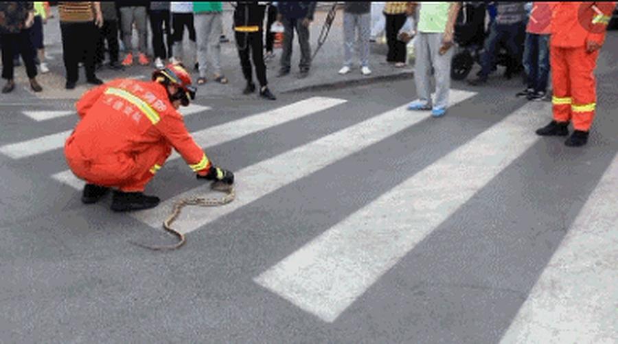 大蛇拦路 吓坏行人消防徒手捉走