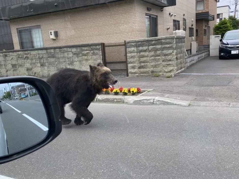 札幌市区熊出没袭人4人伤 警员猎人围捕击毙