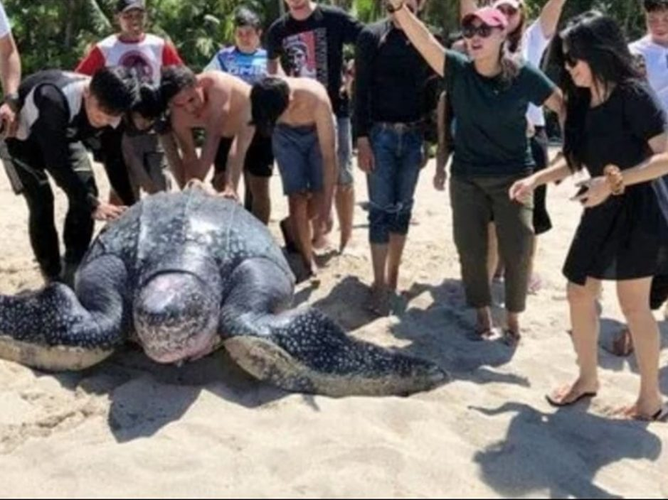 世界最巨海龟搁浅 热心民众拨水合力推回大海