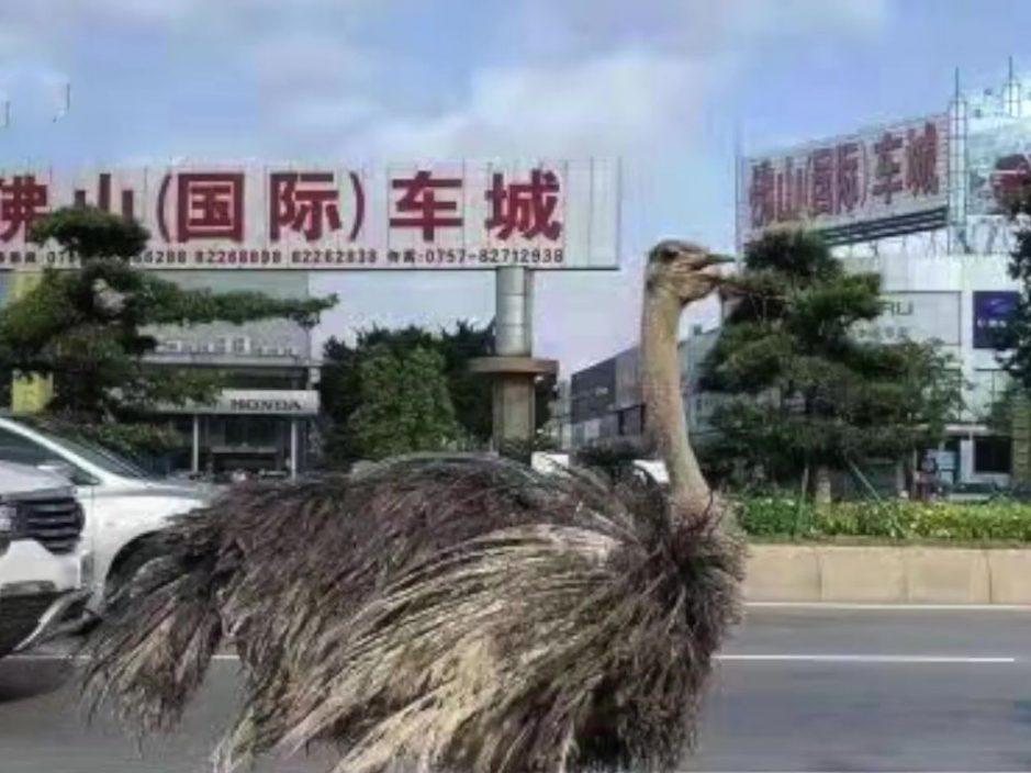 广东佛山大道惊现巨大鸵鸟 优雅前行魔性步伐爆红网络