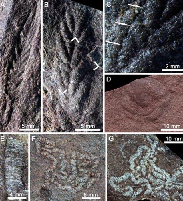 青海发现恰尼虫远古化石 至今5.5亿年历史