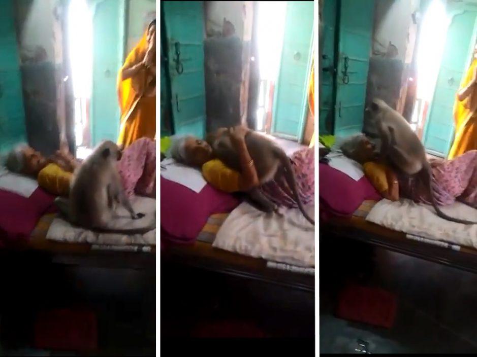 印度野生叶猴跳至卧病婆婆身旁 两度给予拥抱鼓励