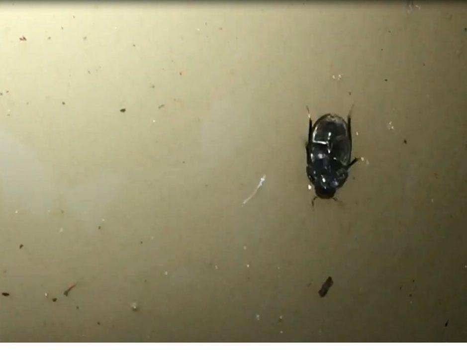 """澳洲昆虫学家发现新品种甲虫 能在水表面下方""""颠倒奔跑"""""""
