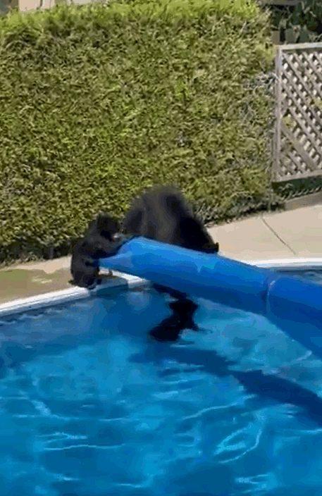 【有片】母熊带两小熊闯居民泳池 温馨嬉水消暑超有爱