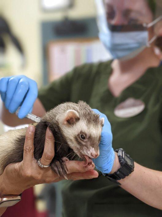 三藩市动物园为动物注射新冠疫苗