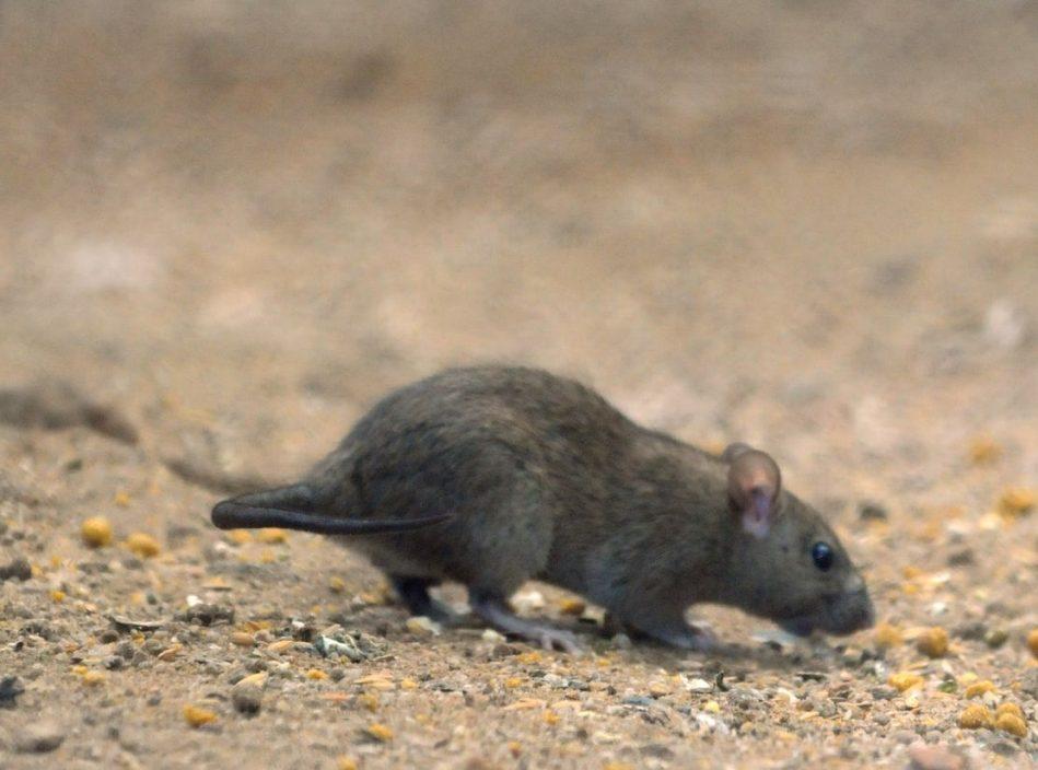 陈肇始:食环署今年第三季将引入带食物味道有毒鼠饵作灭鼠